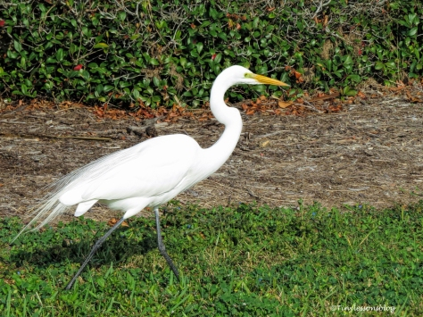 great-egret-ud102