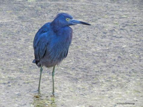 little-blue-heron-ud101