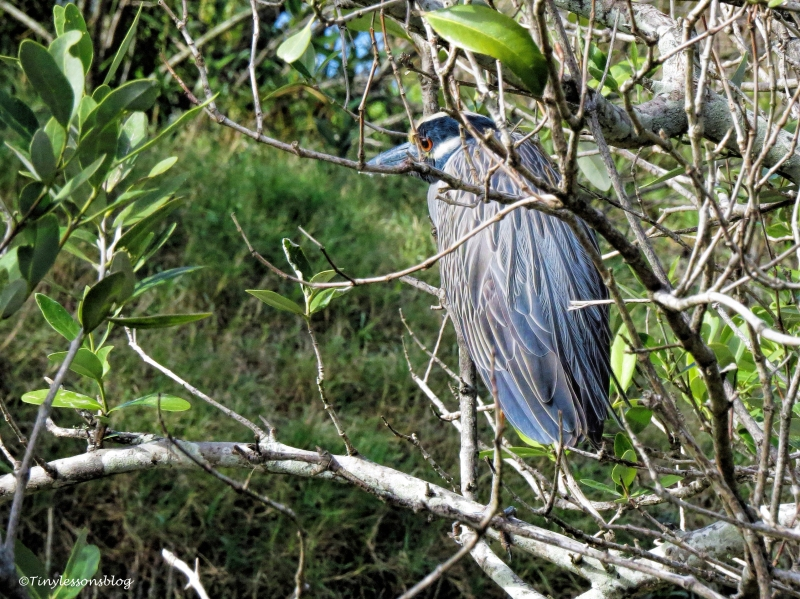 male-yellow-crowned-night-heron-ud102