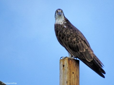 mama-osprey-at-her-perch-ud101