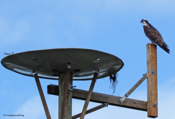 mama-osprey-at-the-nest-ud101