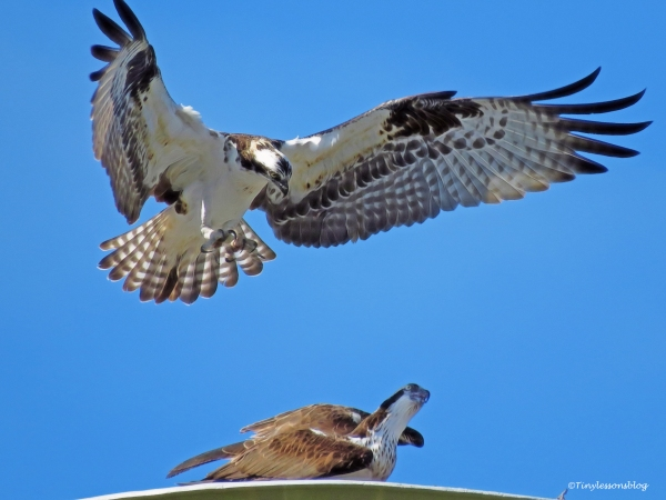 osprey-mating-ud102