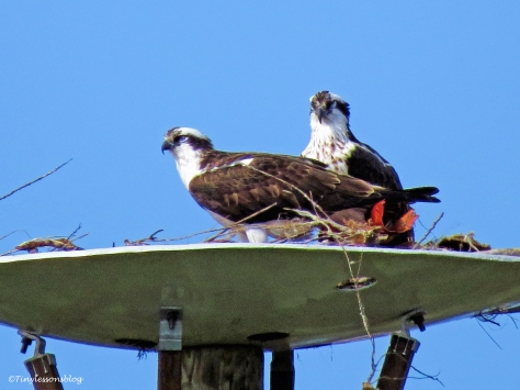 papa-and-mama-osprey-at-the-nest-ud104