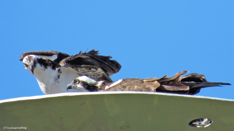 papa-osprey-and-mama-osprey-at-the-nest-2-ud102