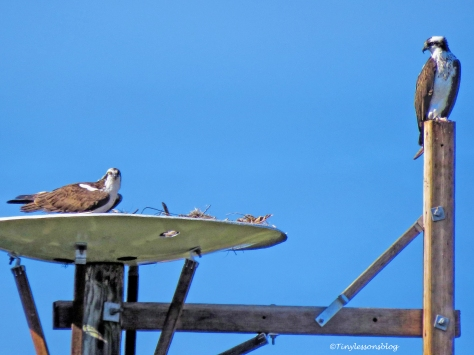 papa-osprey-and-mama-osprey-at-the-nest-jan-10-ud102
