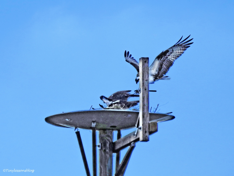 papa-osprey-returns-2-ud102