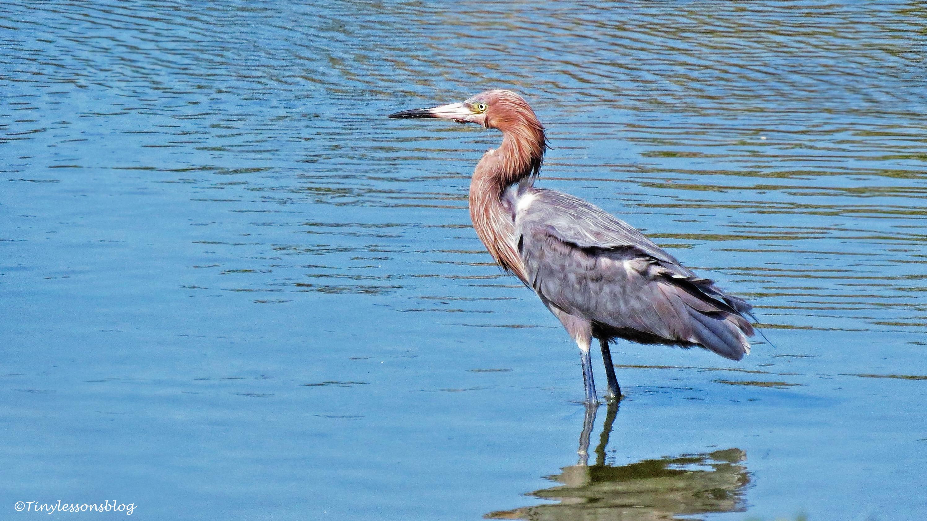 reddish-egret-2-ud104