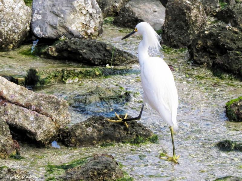 snowy-egret-ud101