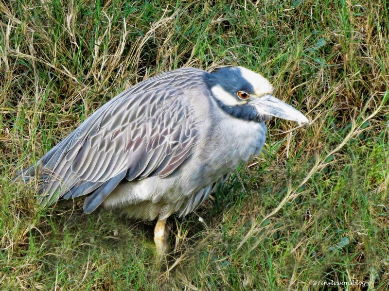 yellow-crowned-night-heron-2-ud101