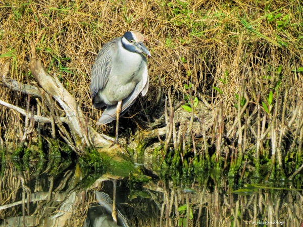 yellow-crowned-night-heron-ud101