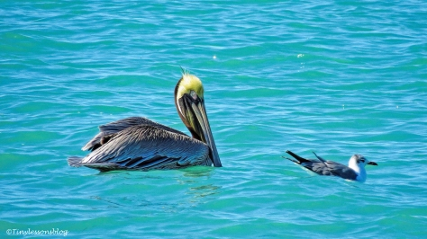 a-brown-pelican-and-a-gull-ud105