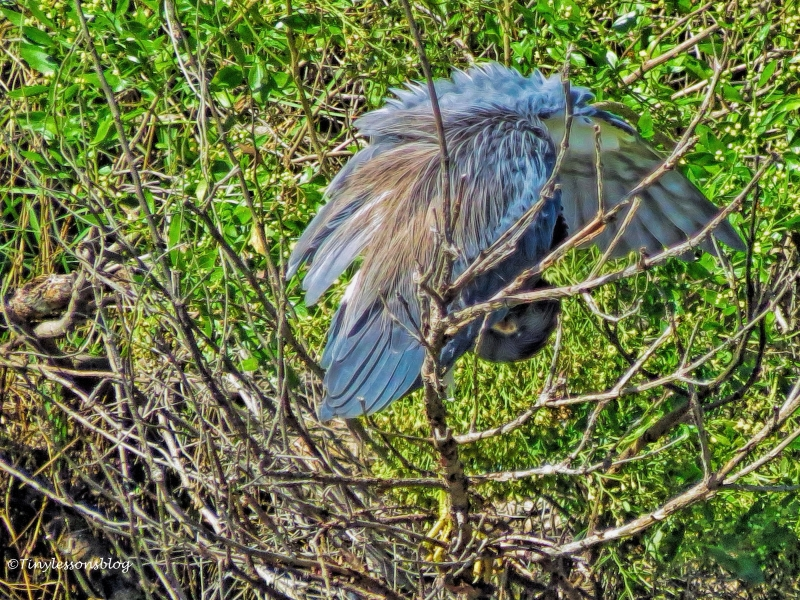 bird-yoga-by-tricolored-heron-ud107