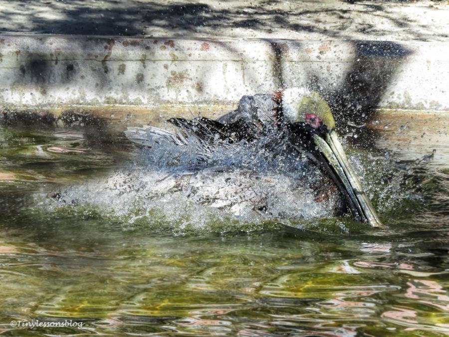 brown-pelican-bathing-ud108