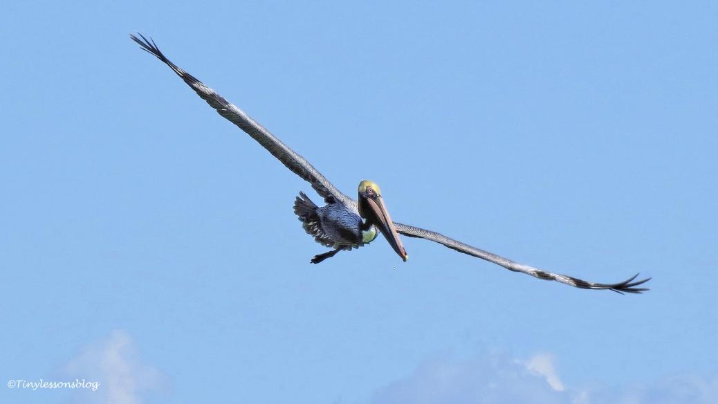 brown-pelican-in-flight-ud105