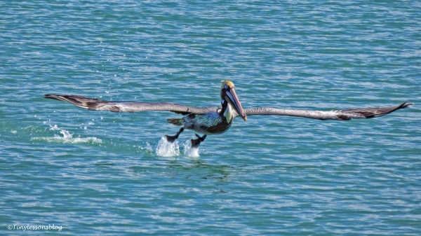 brown-pelican-taking-flight-ud105