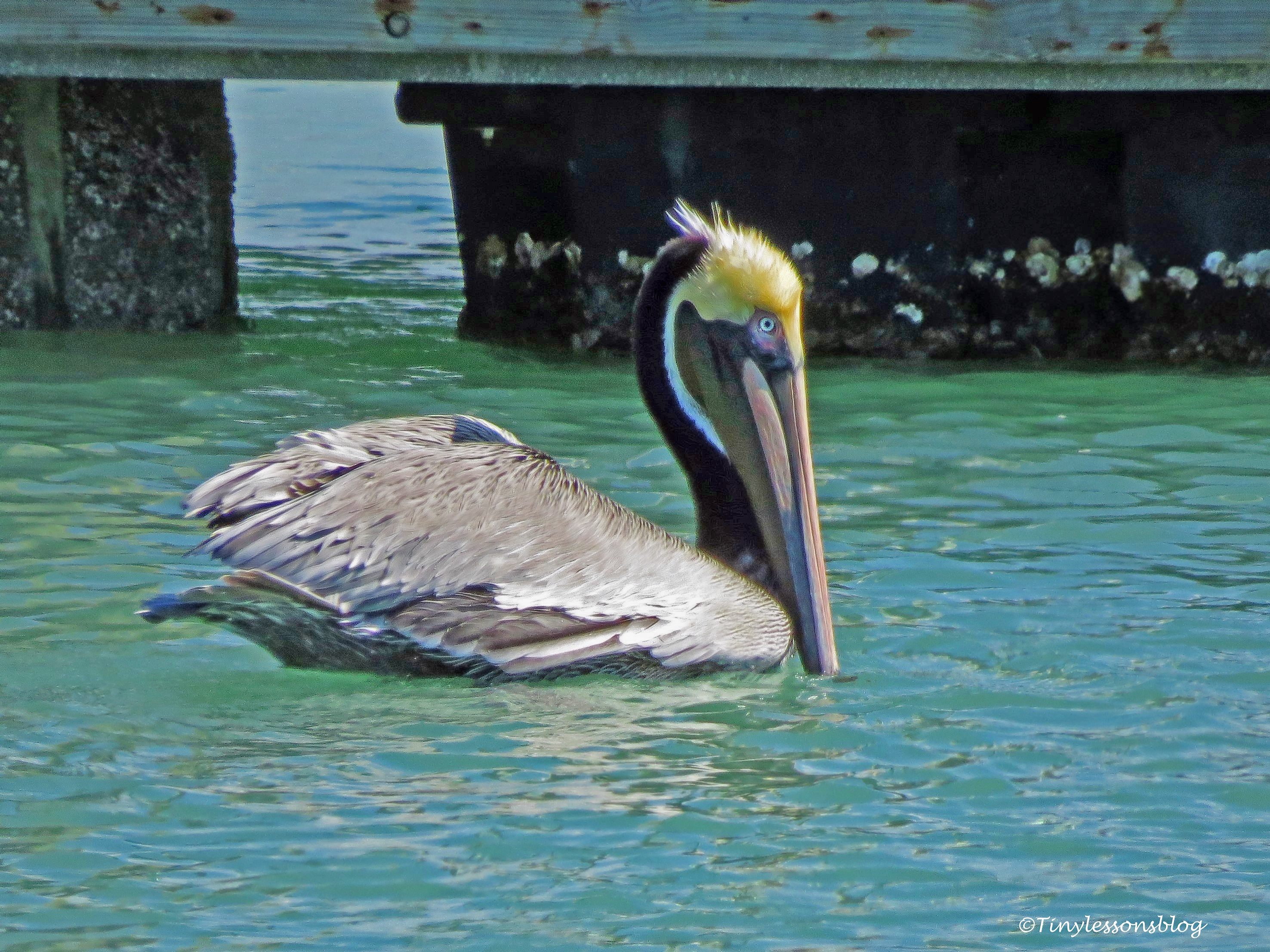 brown-pelican-ud105