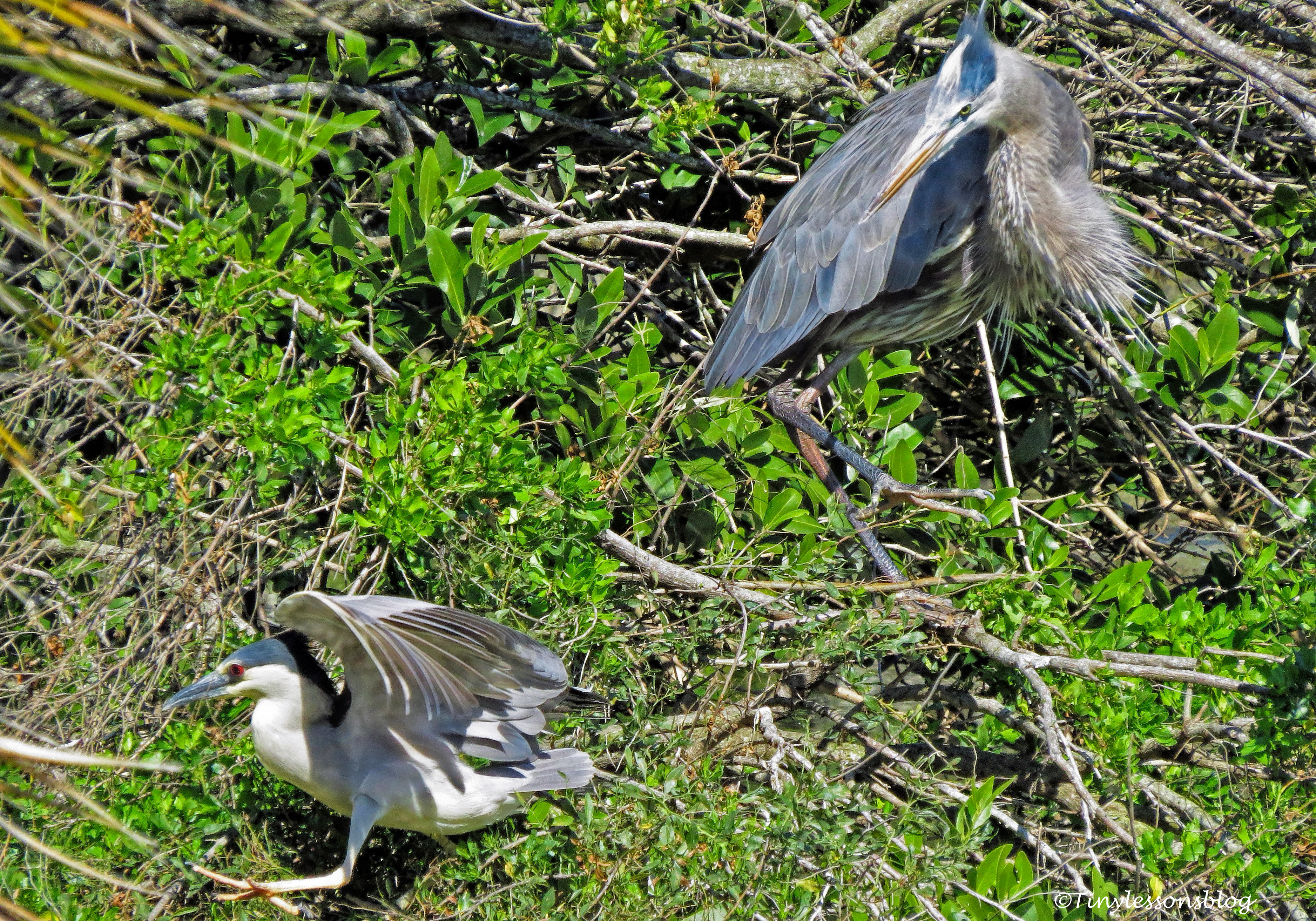 great-blue-heron-and-black-crowned-night-heron-ud105