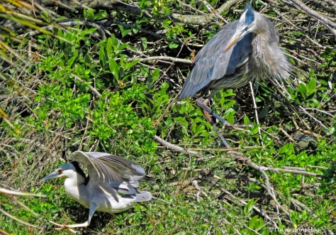 great-blue-heron-and-black-crowned-night-heron-ud105