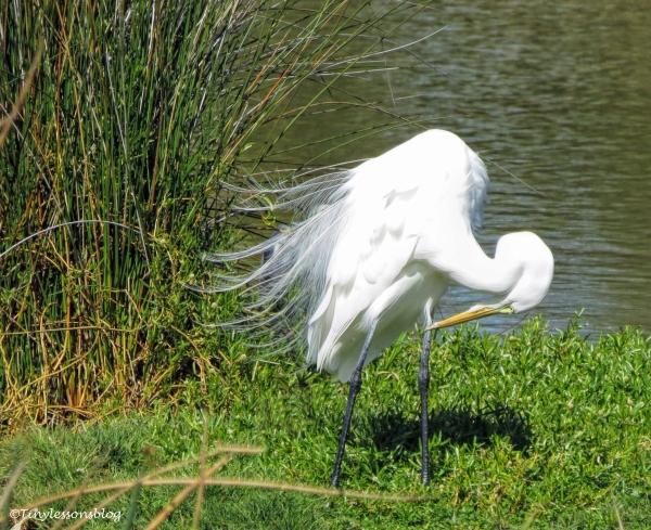 great-egret-ud105