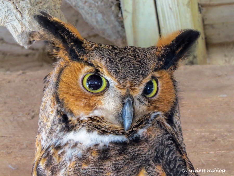 great-horned-owl-scbs-feb-11-ud108