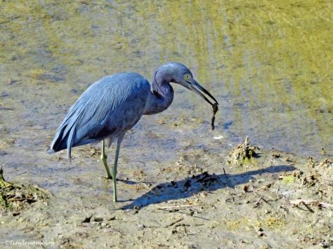 little-blue-heron-ud105