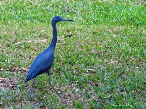 little-blue-heron-ud107