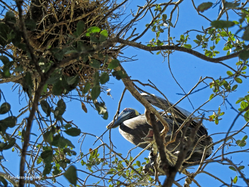 male-pelican-at-the-nest-ud108
