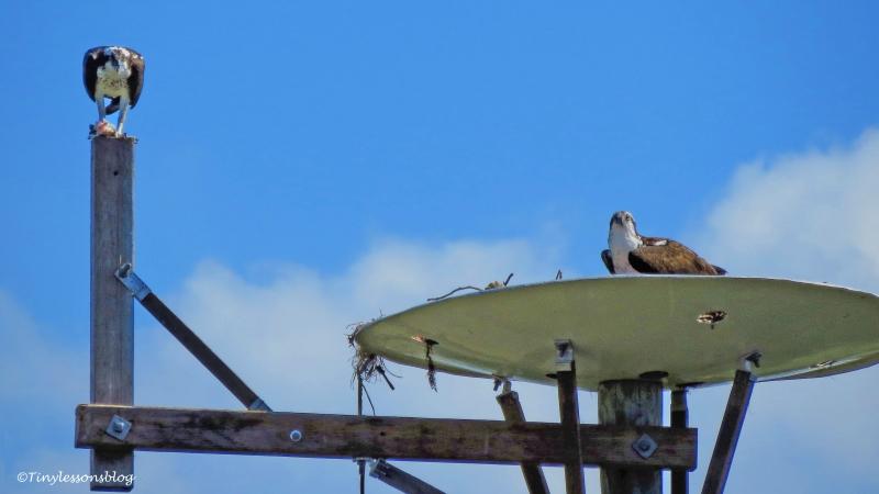 mama-and-papa-osprey-2-ud105