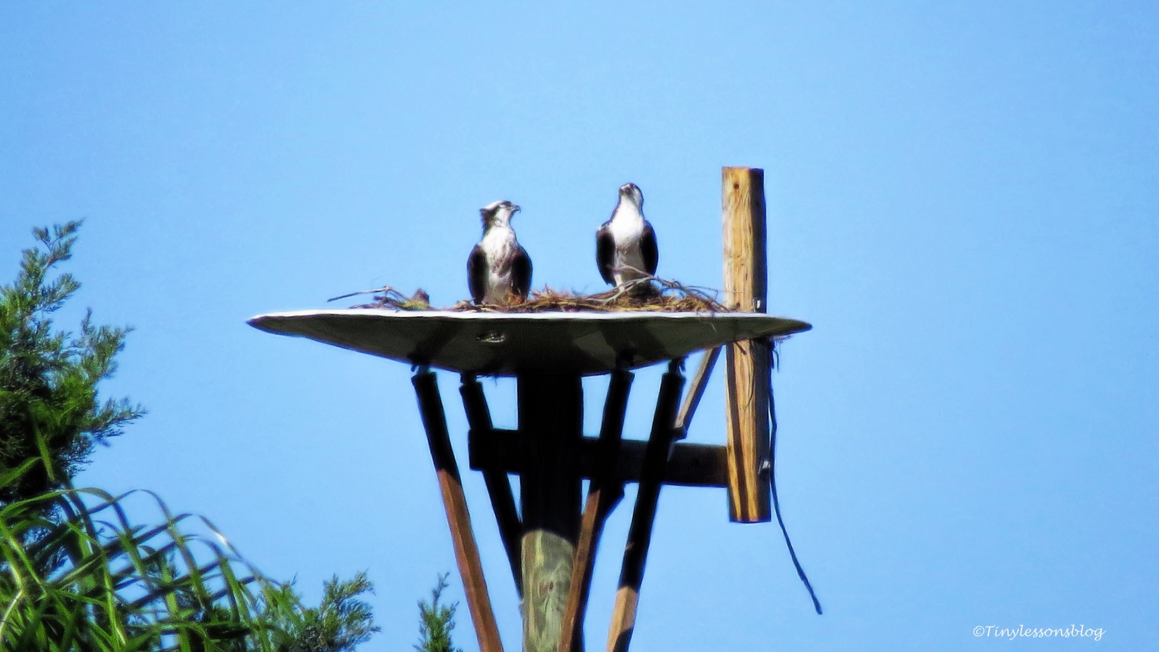 mama-and-papa-osprey-at-their-nest-ud105