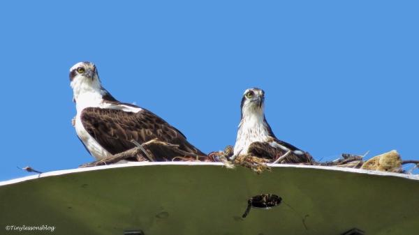 mama-and-papa-osprey-in-the-nest-2-ud107