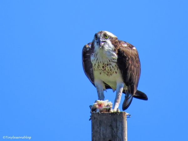 mama-osprey-eats-fish-ud105