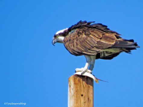 mama-osprey-eats-the-fish-ud107