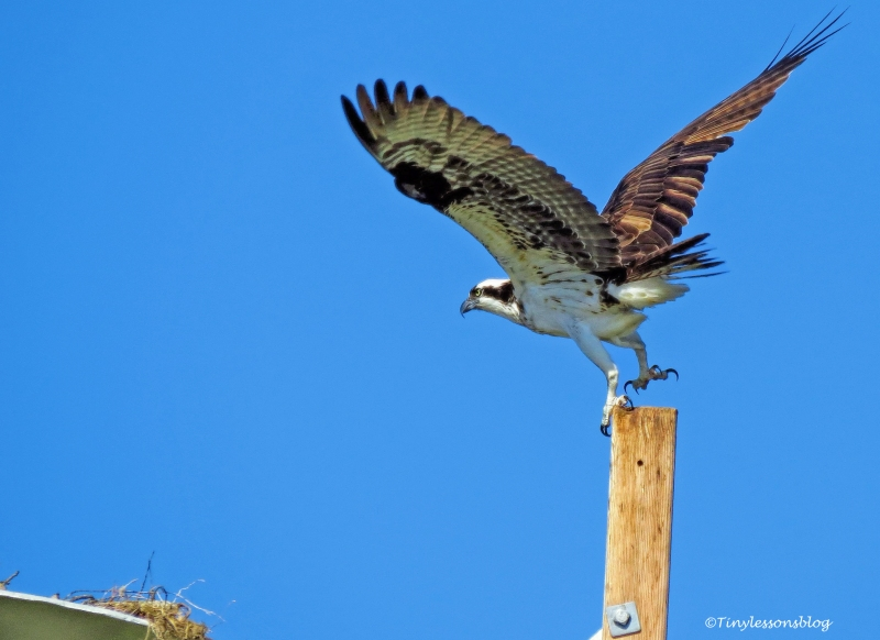 mama-osprey-leaves-the-perch-1-ud109