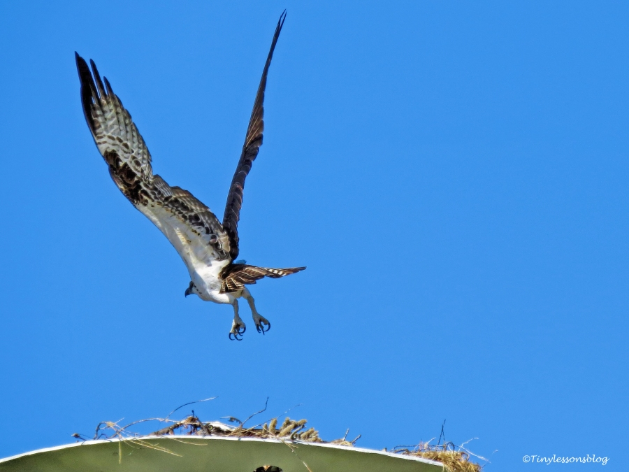 mama-osprey-leaves-the-perch-3-ud109
