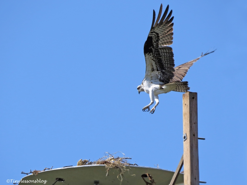 mama-osprey-returns-to-the-nest-ud107