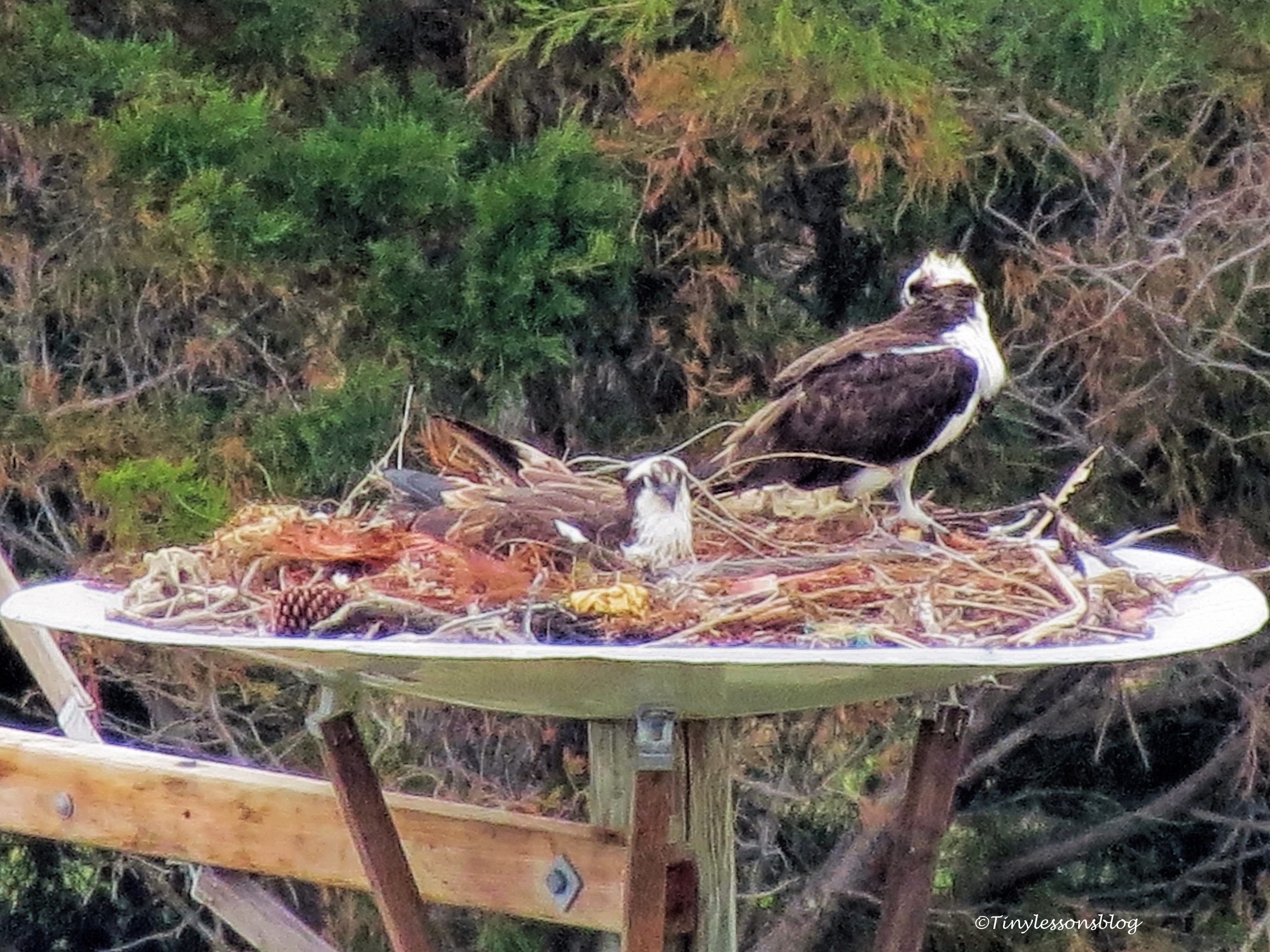mama-osprey-sitting-on-the-eggs-feb18-ud107