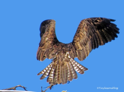 mama-osprey-takes-the-fish-ud107