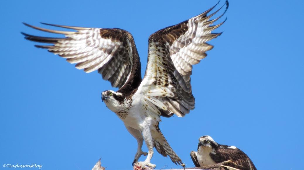 mama-osprey-with-a-fish-last-week-16x9-ud107