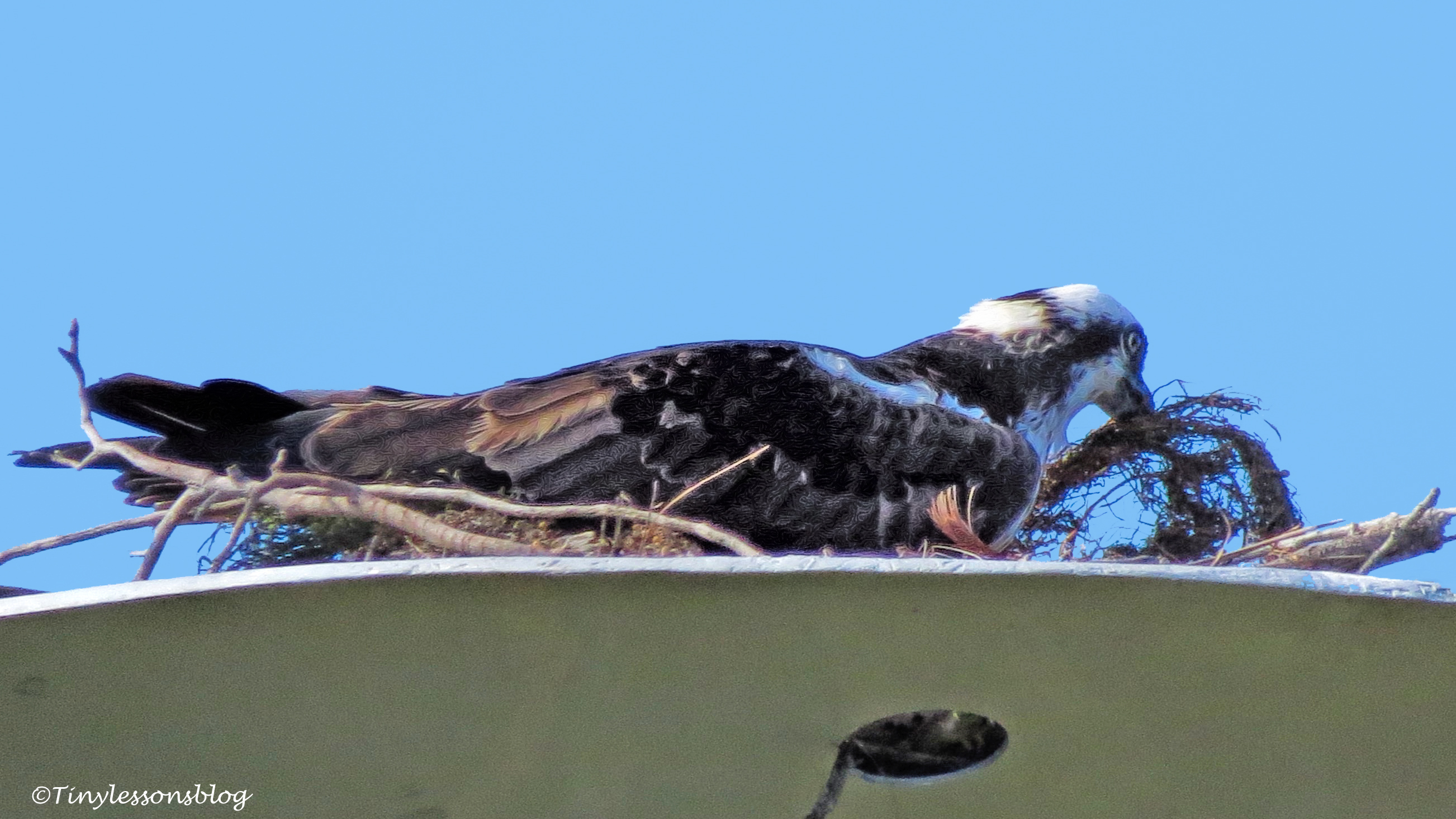 mama-osprey-works-on-the-nest-ud105
