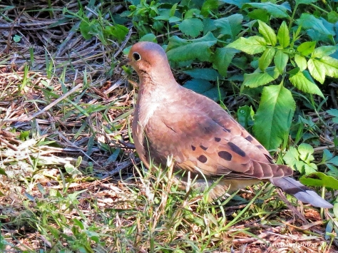mourning-dove-2-ud109