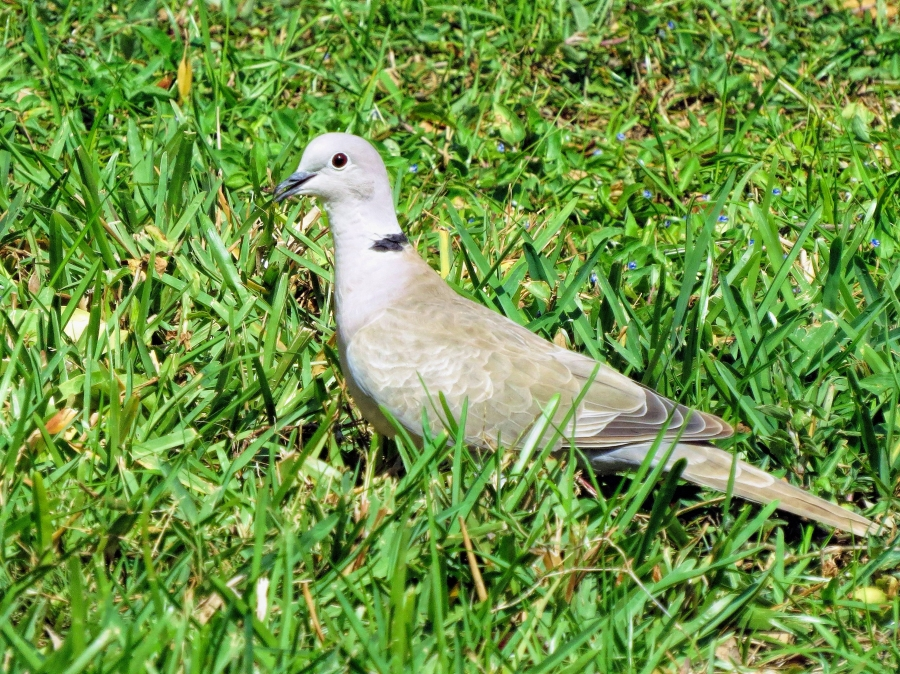 mourning-dove-ud107