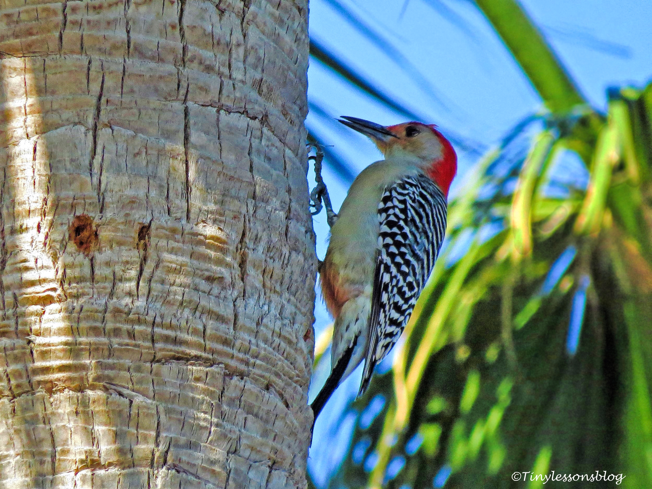 mr-red-bellied-woodpecker-ud105-2