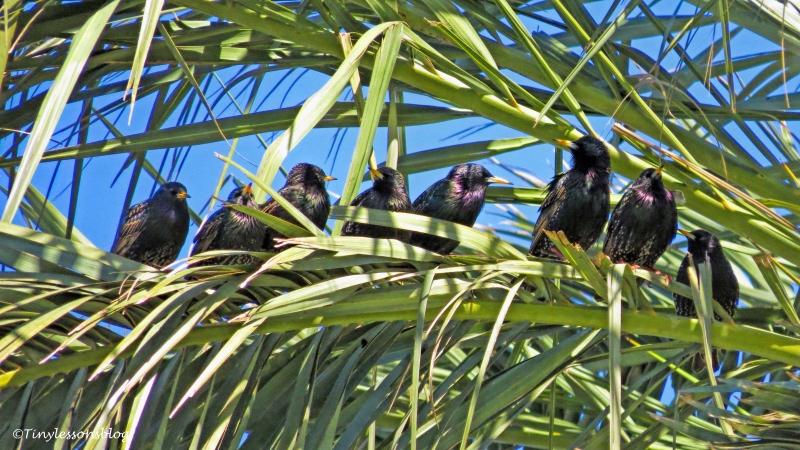 murmurating-starlings-ud105