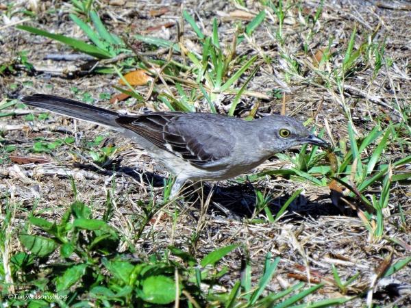 northern-mockingbird-ud109