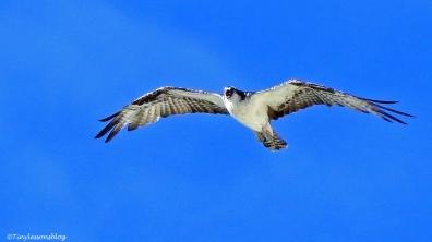 osprey-steve-earlier-ud105