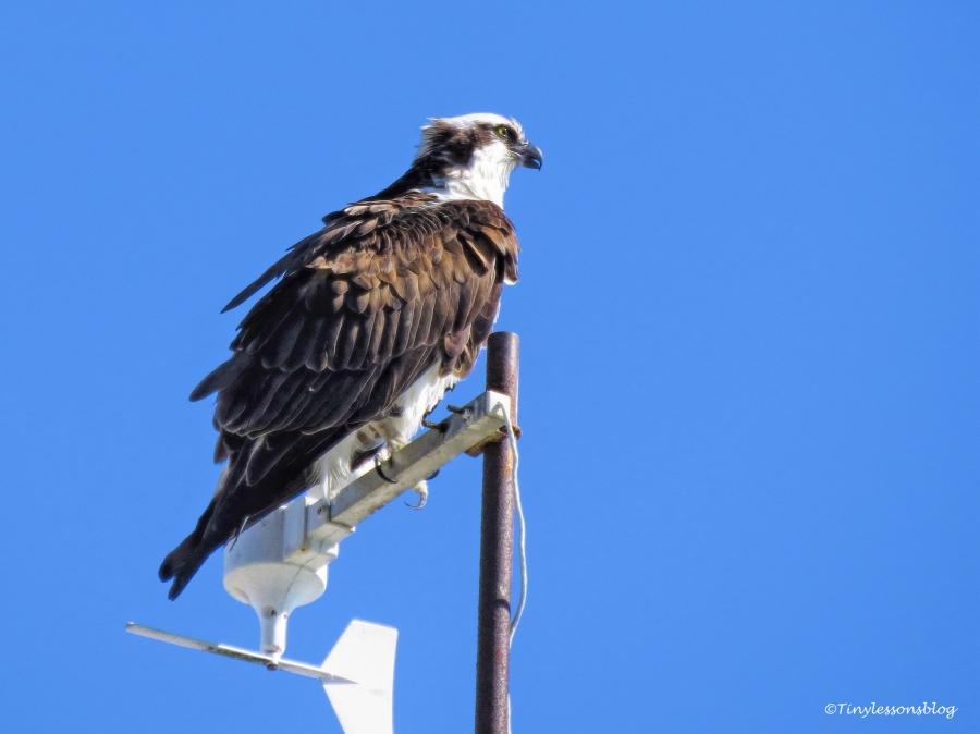 papa-osprey-at-sailing-center-ud109