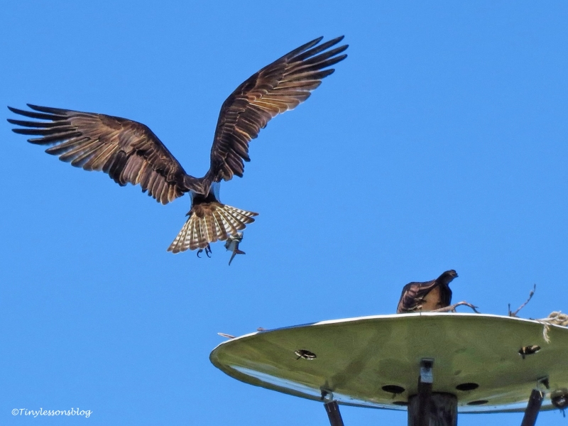 papa-osprey-brings-fish-ud107