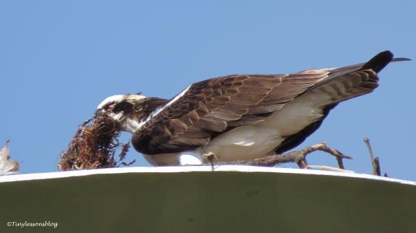 papa-osprey-builds-the-nest-ud107