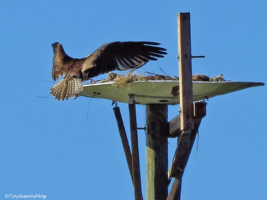 papa-osprey-flying-into-the-nest-ud109