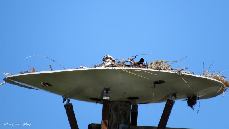 papa-osprey-incubates-ud109